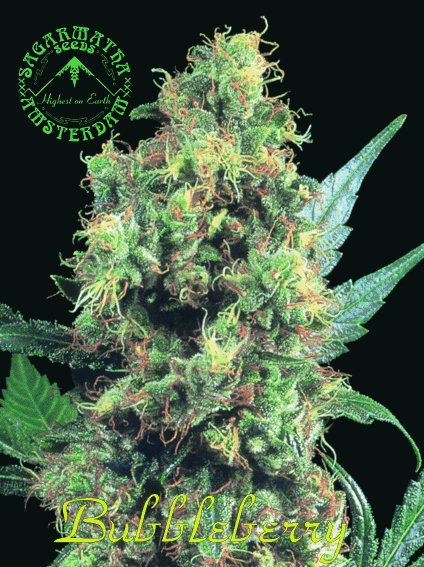 Bubbleberry cannabis seeds picture