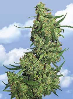 Kush cannabis seeds picture
