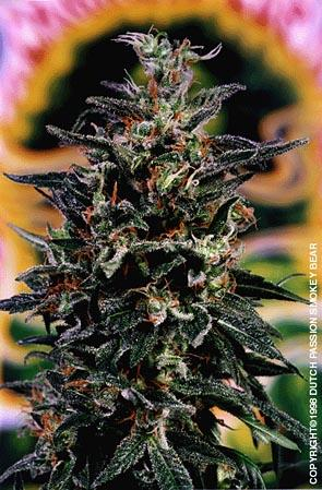 Smokey Bear Cannabis Seeds