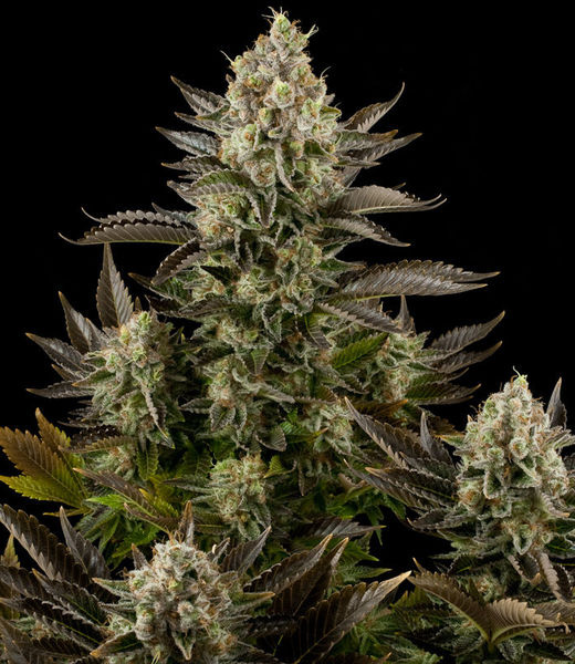Big Bud x Skunk #1 cannabis seeds