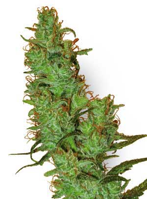 Jack Herer cannabis seeds picture