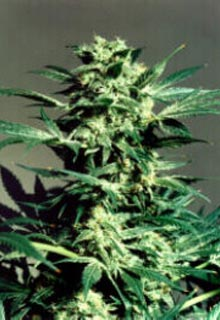 Shiva cannabis seeds picture