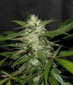 Bubble Gum Strains classification of cannabis seeds