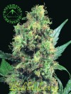 Bubbleberry cannabis seeds photo