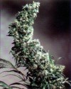 Hawaiian Indica cannabis seeds photo