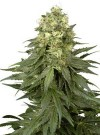 Lady Widow cannabis seeds photo