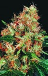 Mangolian Indica cannabis seeds photo
