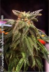 Night Queen cannabis seeds photo