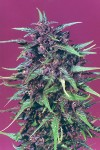Purple Star cannabis seeds photo