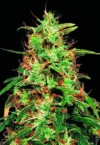 Special K cannabis seeds photo
