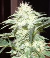 White Widow cannabis seeds photo