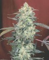 AK-47 cannabis seeds photo