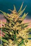 Amstel Gold a.k.a. Passion #1 cannabis seeds photo