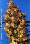 Blue Velvet cannabis seeds photo