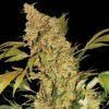 Chronic cannabis seeds photo