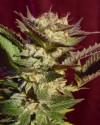 Durga Mata cannabis seeds photo