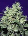 Dutch Dragon cannabis seeds photo