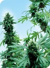 Early Skunk cannabis seeds photo
