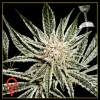 El Nino cannabis seeds photo