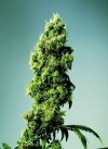 Fourway #1 cannabis seeds photo