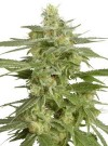 Hollands Hope cannabis seeds photo