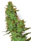 Jack Herer cannabis seeds photo