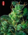 Kali Mist (a.k.a. Western Winds) cannabis seeds photo