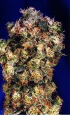 Northern Lights #2 a.k.a Oasis cannabis seeds photo