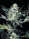 Sensi Star cannabis seeds photo