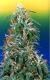 Skunk Passion cannabis seeds photo