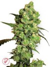 Super Skunk today sale 12.14 euro