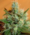 Swiss Miss cannabis seeds photo