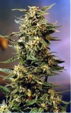 Voodoo cannabis seeds photo
