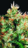 Western Winds cannabis seeds photo